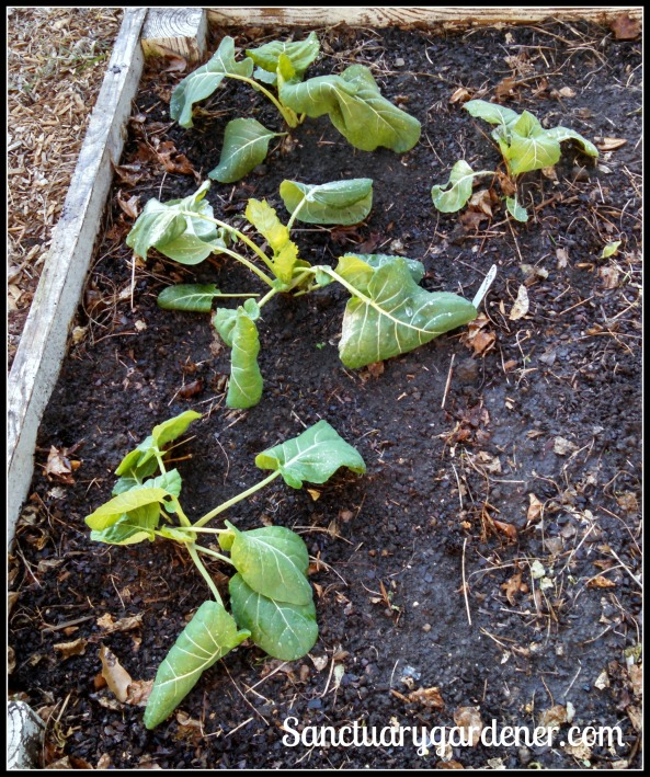 Brussels sprouts transplanted