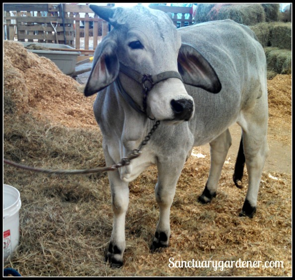 Gray Brahman cow