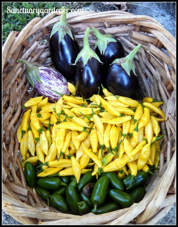 Listada de Gandia eggplant, Black Beauty eggplant, lemon drop peppers, jalapenos