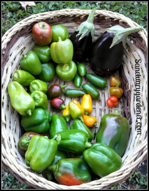 Red bell peppers (unripe), Black Beauty eggplant,