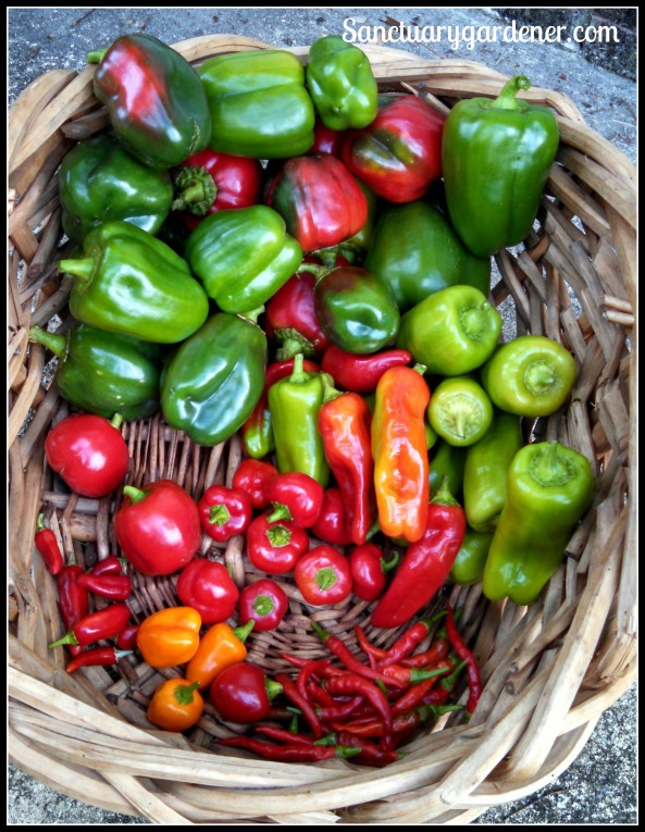 Emerald Giant green bell peppers, cubanelle peppers,