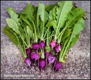 Plum radishes