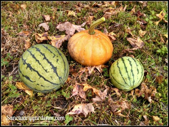 Seminole pumpkin & early moonbeam (yellow) watermelon