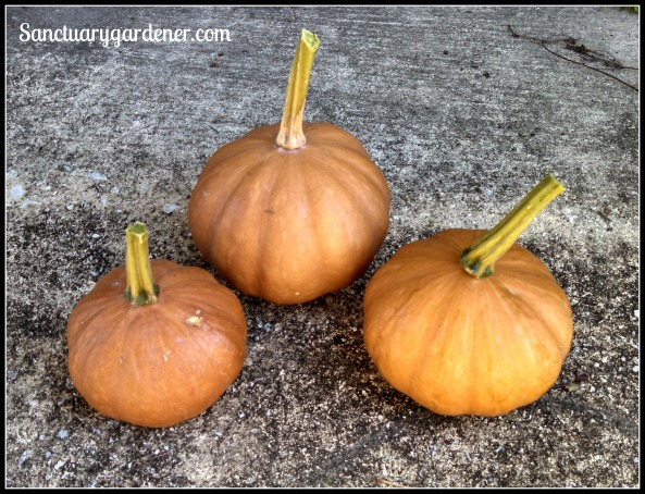 Seminole pumpkins