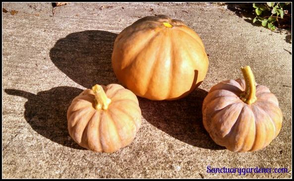 Seminole pumpkin & Black futsu squash