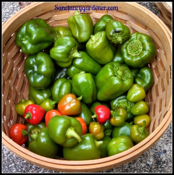 Emerald giant green bell peppers, mini red bell peppers, red bell peppers