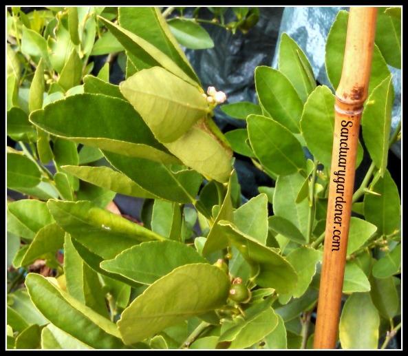 Key lime buds