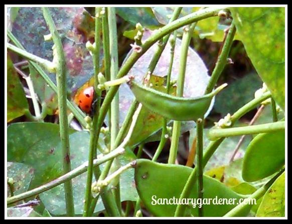 Lady bug on lima beans