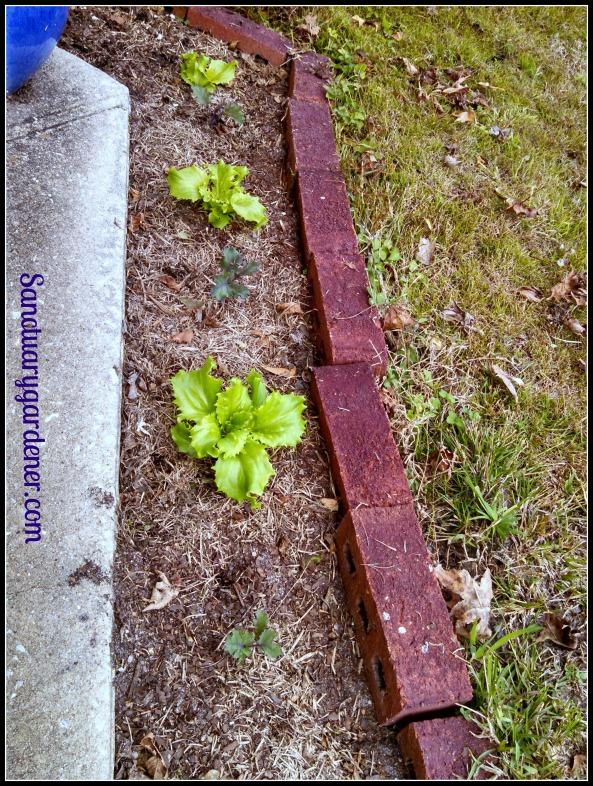Reine des glaces lettuce & Scarlet kale