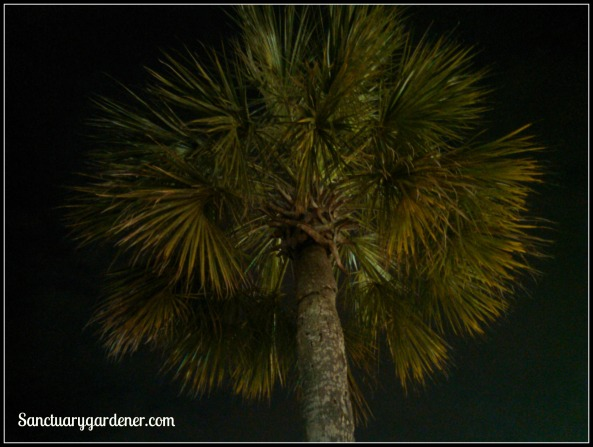 SC state tree - the Palmetto tree at night