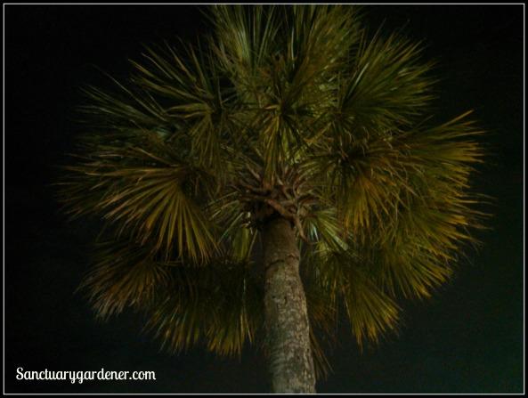 SC state tree - the Palmetto tree at night