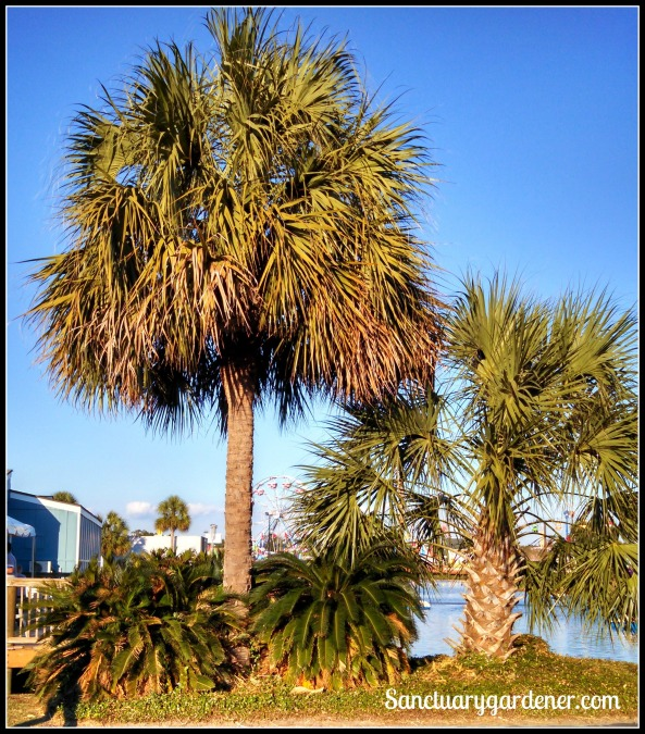 Palmetto trees at the fair