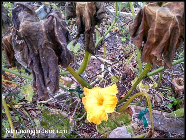 Pumpkin flower after frost