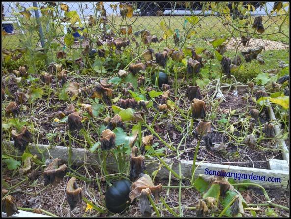 Pumpkin vines 5 days after frost