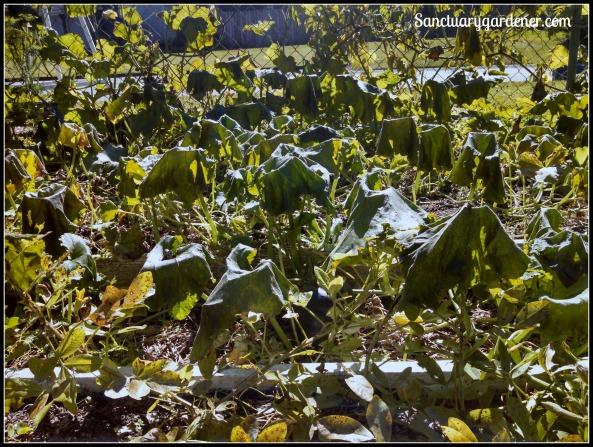 Frost damage on pumpkin vines
