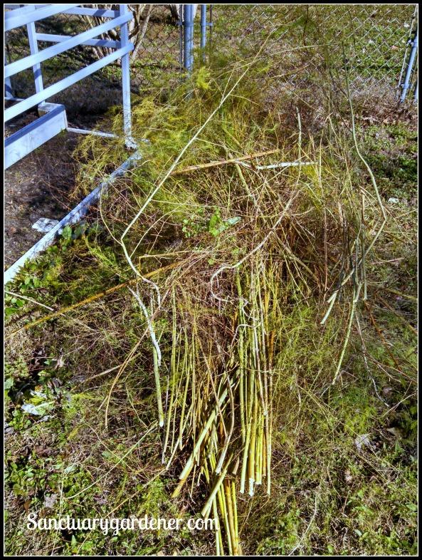 Asparagus fern cut down