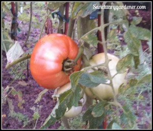 Cherokee Purple tomatoes on the vine
