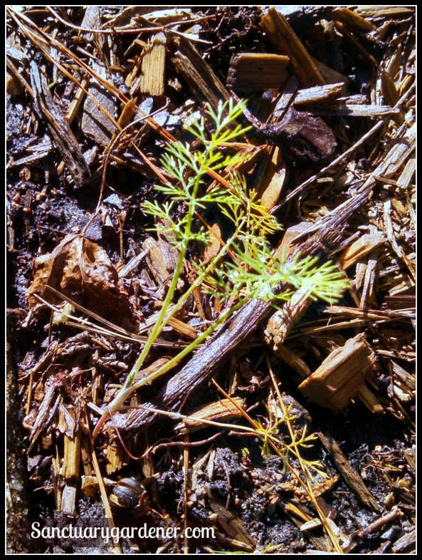 Fernleaf dill seedling
