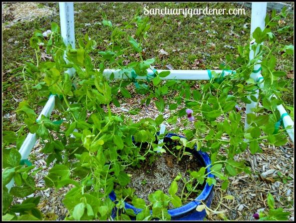 Dwarf gray peas flowering