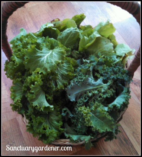Escarole, Scotch curled kale, mustard greens
