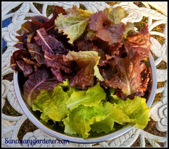 Red romaine lettuce, red sails lettuce, black seeded Simpson lettuce