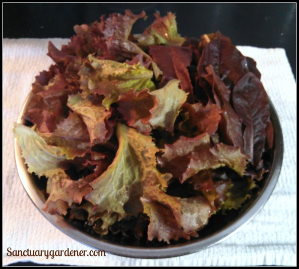 Red Sails & Red Romaine lettuces