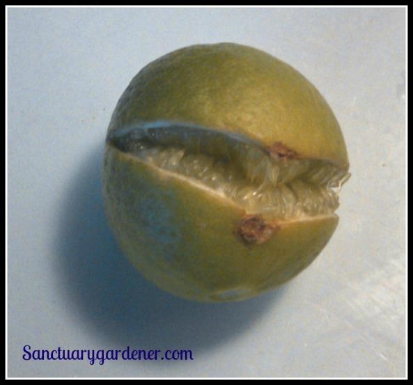 Key lime - split on the tree