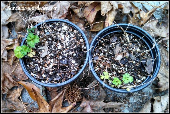Wind-seeded parsley seedlings