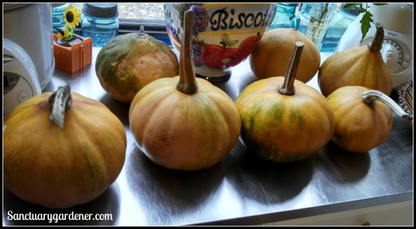Seminole pumpkins ripening in the window