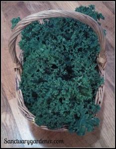 Scotch Curled kale