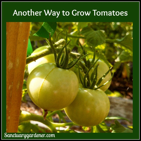 Another Way to Grow Tomatoes pic