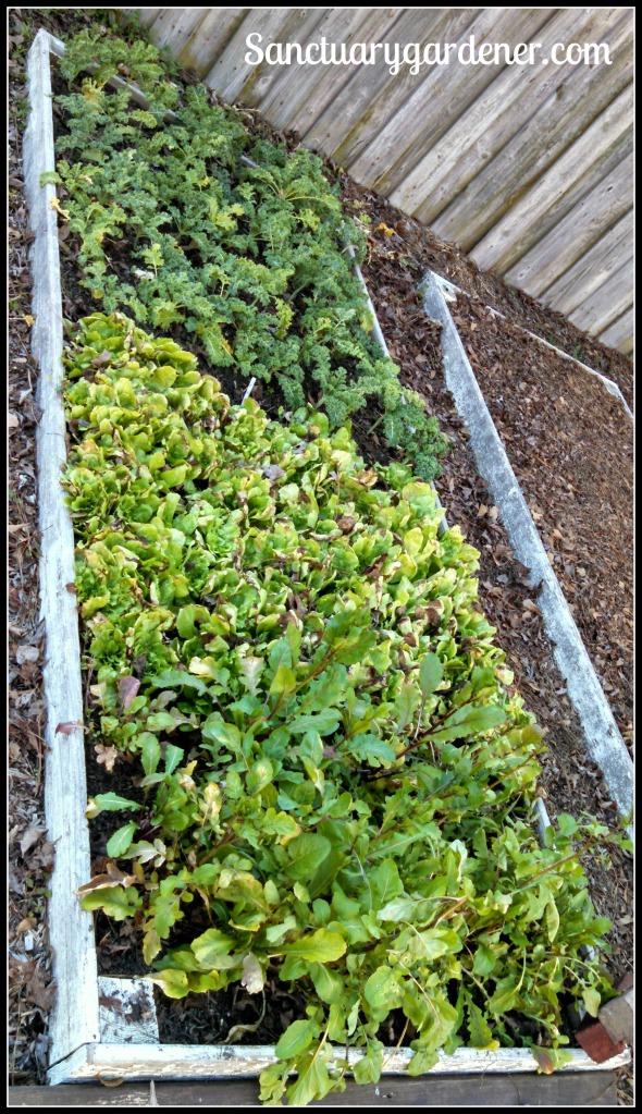 Bed 10 in January 2015 ~ Kale, escarole, & arugula