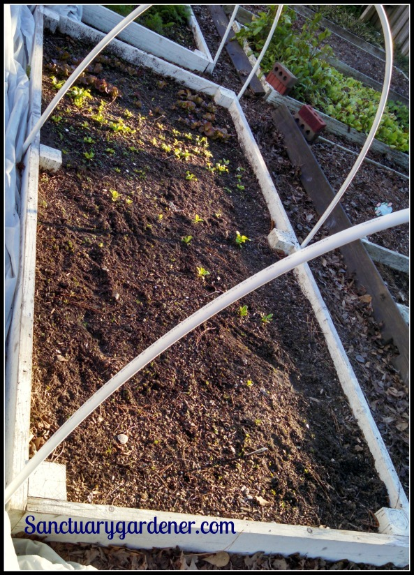 Bed 15 in January 2015 ~ Spinach & lettuce