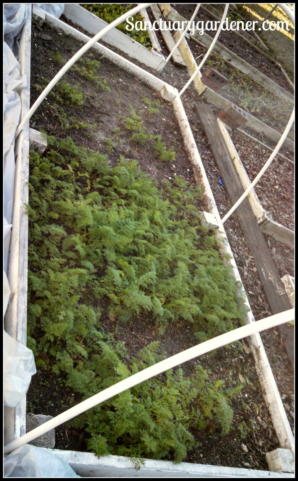 Bed 16 in January 2015 ~ Carrots