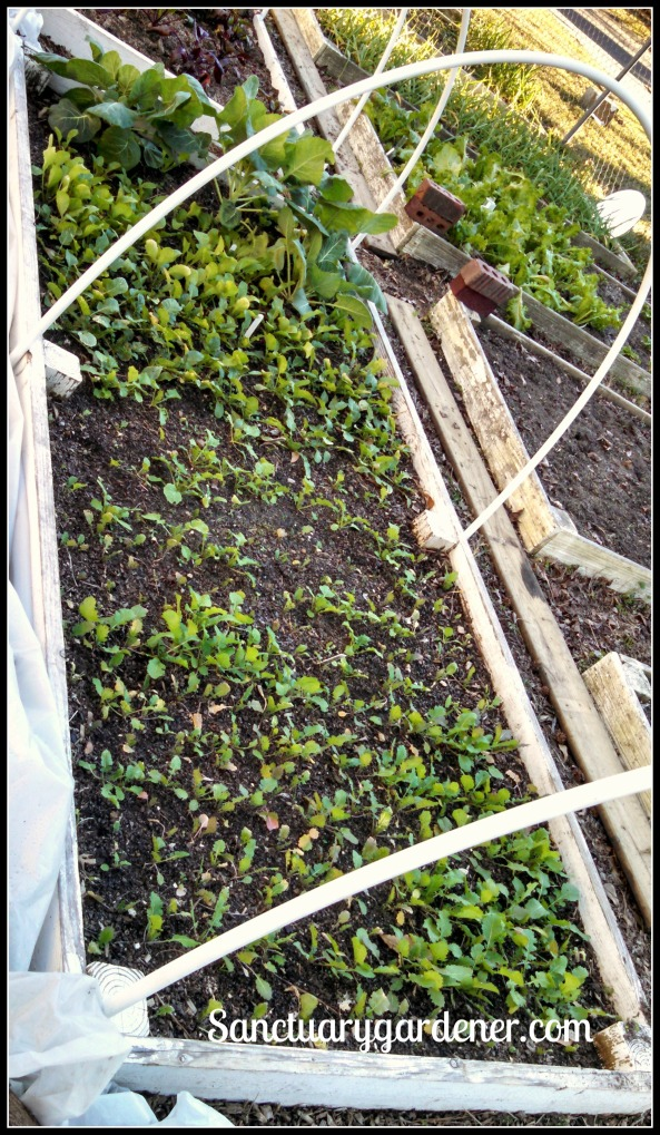 Bed 17 in January 2015 ~ Turnips, radishes, brussels sprouts