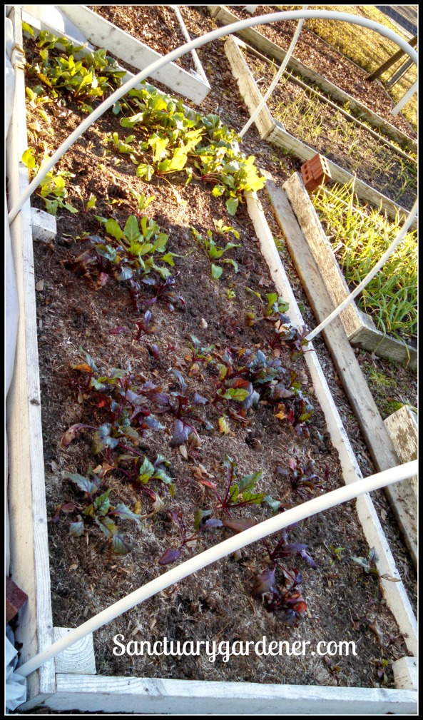 Bed 18 in January 2015 ~ Beets