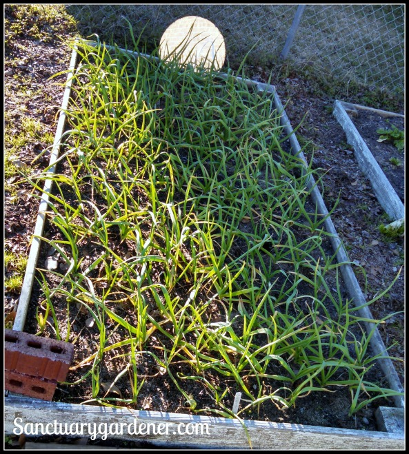 Bed 5 in January 2015 ~ Garlic