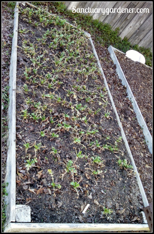 Bed 8 in January 2015 ~ Radishes