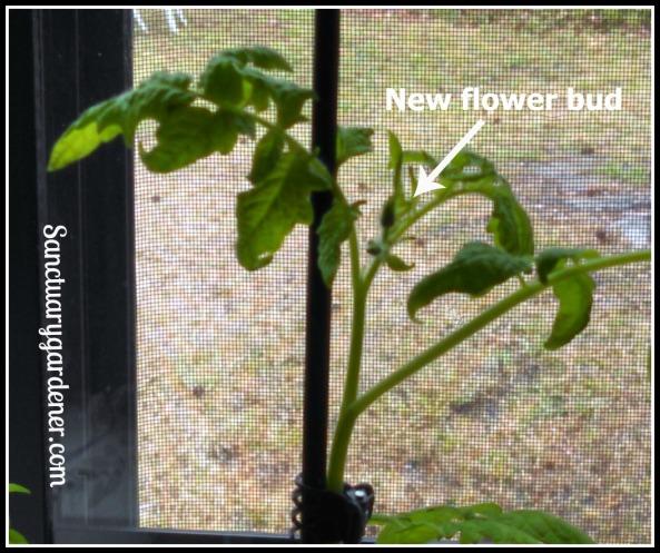 Flower bud on Black Krim tomato cutting transplant