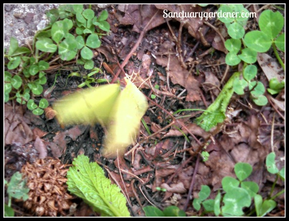 Yellow butterfly trying to fly