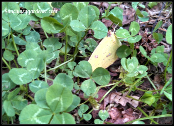 Yellow butterfly crawling on the clover in my backyard