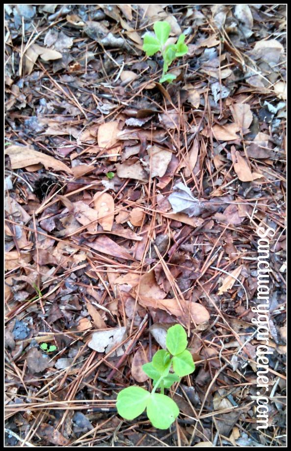 Dwarf Gray Pea seedlings