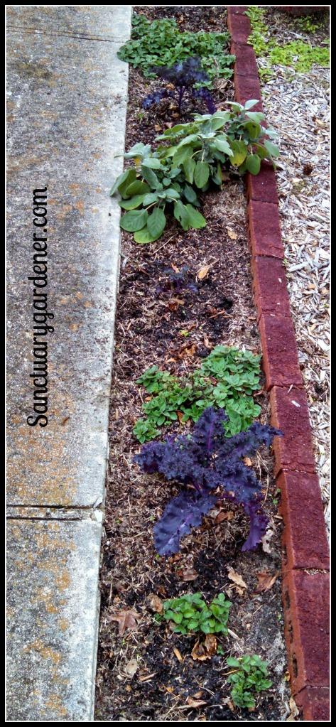 Scarlet kale, oregano, & sage along my front walkway