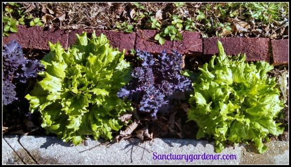 Reine des glaces lettuce & scarlet kale ~ survived hard frost