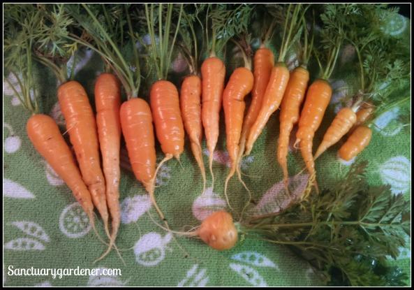 Scarlet Nantes Carrots (top) & Parisienne carrot (bottom)