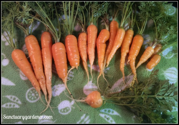 Scarlet Nantes Carrots (top) & Parisienne carrot (bottom)