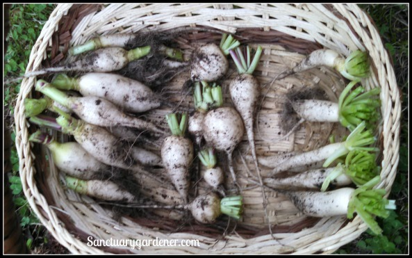 Icicle, beer, and daikon radishes