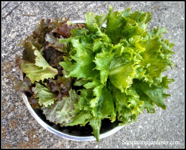 Red sails & reine des glaces lettuce