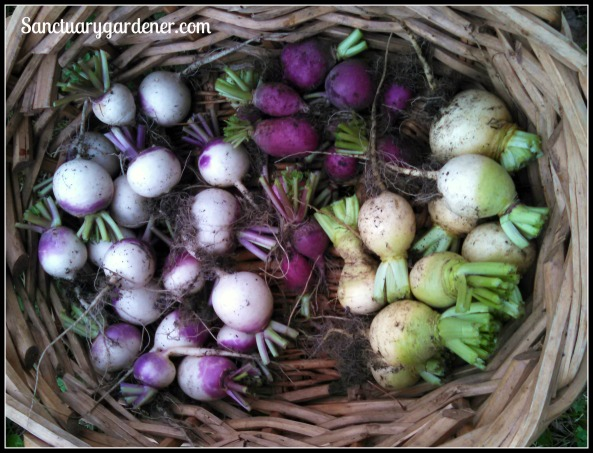 Purple top turnips, purple plum radishes, & golden globe turnips