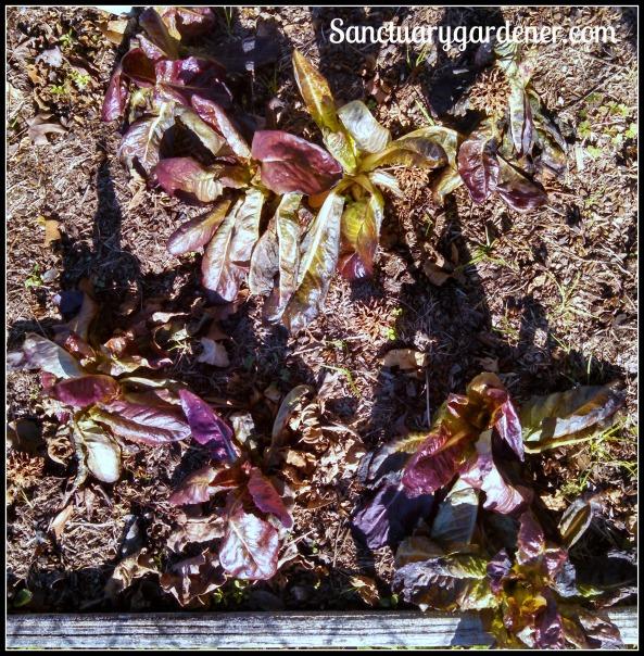 Red romaine lettuce ~ frostbitten